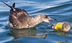 albatross-plastic-ocean-garbage-patch-pacific
